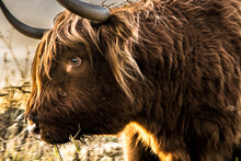 Scottish Highlands Bull Cows In A Dutch Nature Reserve, In Dinteloord. Photo Taken 16-12-2020