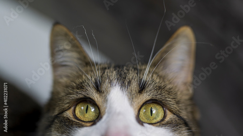 Fototapeta Close up photo of a tabby cat with yellow and green eyes, and curly whiskers