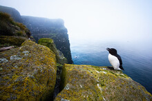 Razorbill, Alca Torda, Standing In Its Natural Environment Of Seashore With Copy Space. Blac And White Bird Resting On A Cliff Above The Sea Covered In Fog In Iceland, Europe.