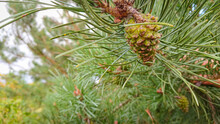 Branch Of  Pine With  Cone (also Known As The Maritime Pine Or Cluster Pine)