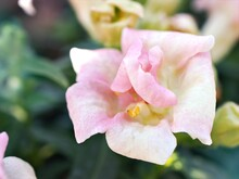 Snapdragon Yellow Orange Flower Plants In Garden , Antirrhinum Majus With Soft Focus And Sweet Color For Background