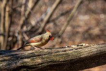A Female Northern Cardinal Eating Seeds On A Branch