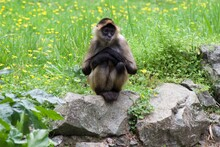 Spider Monkey With Crossed Hands Sitting On A Rock In Front Of Grass And Buttercups
