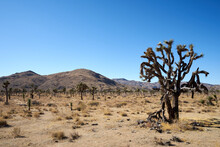 Joshua Tree, Yucca Brevifolia, In Park Boulevar Joshua Tree National Park, California, United States