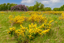 Lush Flowering Of Caragan. Caragana. Steppe Acacia. Steppe Shrub With Yellow Flowers.