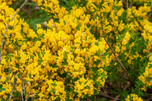 Steppe Shrub With Yellow Flowers. Lush Flowering Of Caragan.