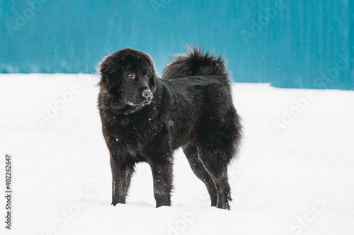 Fototapeta Dog Newfoundland Walk Outdoor In Snow At Winter Day obraz