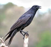 Tamaulipas Crow Perched On A Dead Branch. Corvus Imparatus.