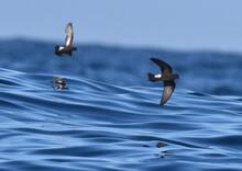 Wilson's Storm Petrel, Oceanites Oceanicus