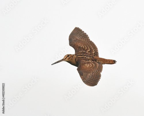 Fotografia Eurasian Woodcock, Scolopax rusticola