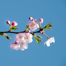 Blossoming Sakura With Pink Flowers On Blue Sky Background