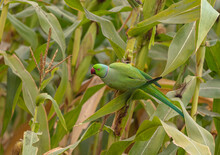 The Rose-ringed Parakeet, Also Known As The Ring-necked Parakeet, Is A Medium-sized Parrot In The Genus Psittacula, Of The Family Psittacula Krameri