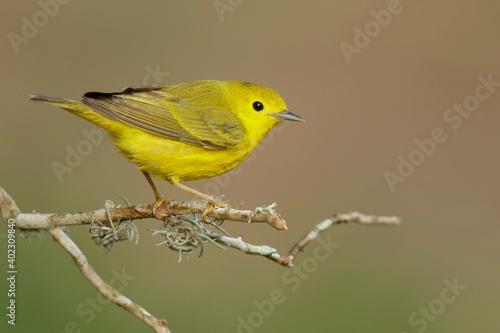 Obraz na płótnie Yellow Warbler, Setophaga aestiva