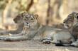 canvas print picture - Asiatic lion, Panthera leo leo