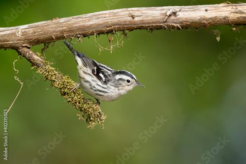 Canvas Print Black-and-white Warbler, Mniotilta varia
