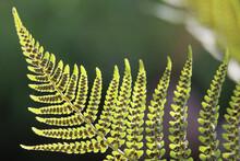 Green Bracken Fern Frond, Eagle Fern, Pteridium Aquilinum, Underside Showing Sori And Spores, Sunlit Against A Natural Background, Closeup