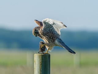 Kestrel's landing with the prey on the roundpole