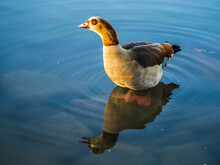 Egyptian Goose Standing On The Stone On Lake, Reflections In Transparent Water