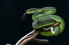 Mangrove Pit Viper On Black Background