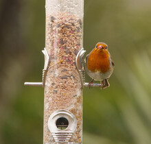 Robin Sat On A Bird Seed Feeder Peg With A Red Peanut In His Beak Staring Straight At The Camera