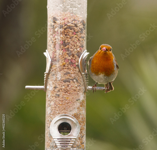 Leinwand Poster robin sat on a bird seed feeder peg with a red peanut in his beak staring straig
