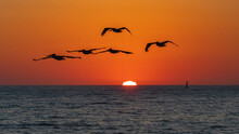 Pelicans Heading To The Sunset