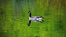 Goose On A Reflective Pond