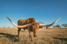 Texas Longhorn Grazing In The Winter Pasture. Bright Blue Sky With Copy Space.