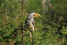 BIRDS- Africa- Close Up Of A Yellow-billed Hornbill Perched On Thorn Bush