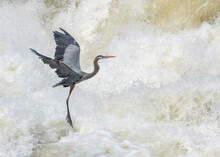 Great Blue Heron Flying Over The Potomac River