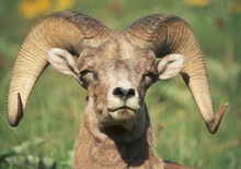 Rocky Mountain Big Horn Sheep - Ovis Canadensis