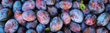 Banner. Ripe Plums. Close Up Of Fresh Plums, Top View. Macro Photo Food Fruit Plums. Texture Background Of Fresh Blue Plums. Image Fruit Product. D'Agen French Prune Plum. Plums With A Few Leaves.