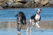 Two Great Dane Dogs Running At The Beach