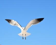 A Beautiful Seagull In Flight Over Laguna Beach In Panama City Beach, Florida