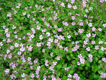 Rock Soapwort Flowers - Saponaria Ocymoides