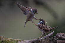 Two Isolated Eurasian Tree Sparrows Fighting