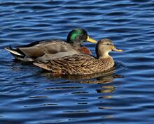 A Mated Pair Of Mallard Ducks.