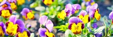 Blooming Colorful Heartsease Flower (Viola Tricolor) In Spring, Close-up. Panoramic Landscape. Nature, Plants, Botany, Gardening. Natural Floral Pattern, Texture, Background, Wallpaper