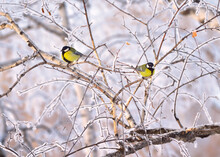 Two Tits In Winter. Little Birds Sitting On The Branches Of Birch Covered With Frost