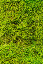 Vertical Shot Of Tree Bark Fully Covered In Moss Texture. Close Up Of The Wild Green Flowerless Plant. Eco Concept