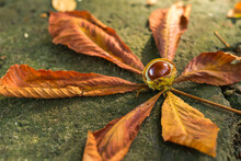 Close Up Of An Autumn Fallen Horse Chestnut Leaf And Conker Lying On Cement Wall