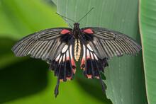 Great Mormon (Papilio Memnon) Female Butterfly