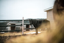 Small Black Canadian Horse Standing Outside In Winter Paddock