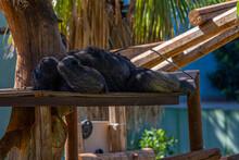 Il Riposo Del Gorilla