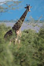 Massai- Giraffe ( Giraffidae )