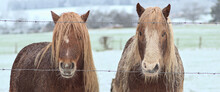 2 Long-haired Ponies, Horses In Cold Winter-like Landscape, In A Hilly Cold Farmers Field
