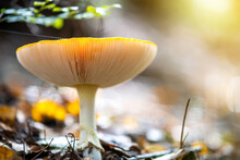 Yellow Poisonous Mushroom Growing In Autumn Forest.