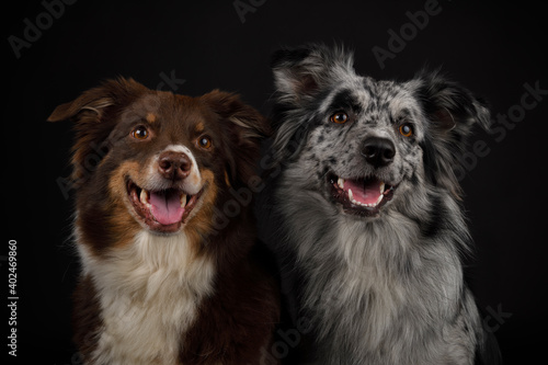 Fototapeta Australian shepherd pair possing with open mouth
