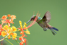 A Copper-rumped Hummingbird (Amazilia Tobaci) Feeding On The Pride Of Barbados Tree With A Plain Green Background. Hummingbird And Flower. Bird In Flight. Wildlife In Nature. Tropical Bird In Garden