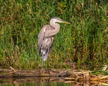 Great Blue Heron Fishing In A Pond In Summer